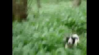 English Springer Spaniels This Is Why They Call Them Springer Spaniels? .