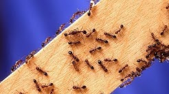 HOW TO KILL FIRE ANTS ~ DEAD !