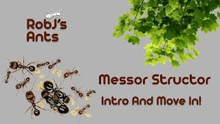 Messor structor | New Colony Introduction And Move In