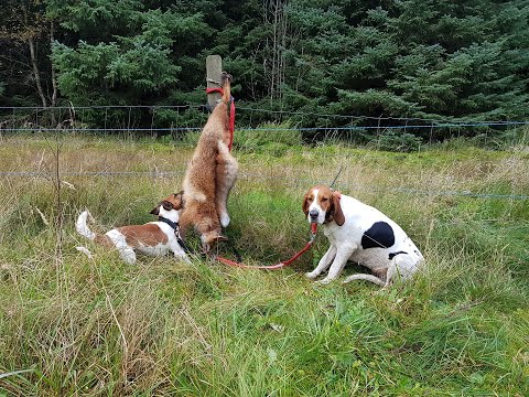Fox Hunting With Hound And Terrier.