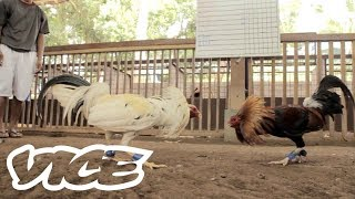 Download lagu Cockfighting In The Phillipines A Deadly Billion Dollar Industry