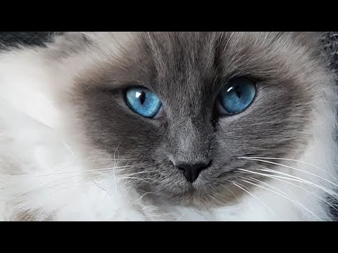dear ragdoll cat kyra, she is so sweet! with her nice blue eyes! and so fluffy 😍❤😍