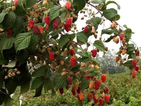 Правильная посадка малины осенью. Сорт Таруса. | агротехника | правильная | малиновое | описание | малинник | посадки | посадка | заводим | таруса | малины