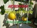 Z Menanam Melon Red Skin (Hidroponik Autopot Ala Wina)