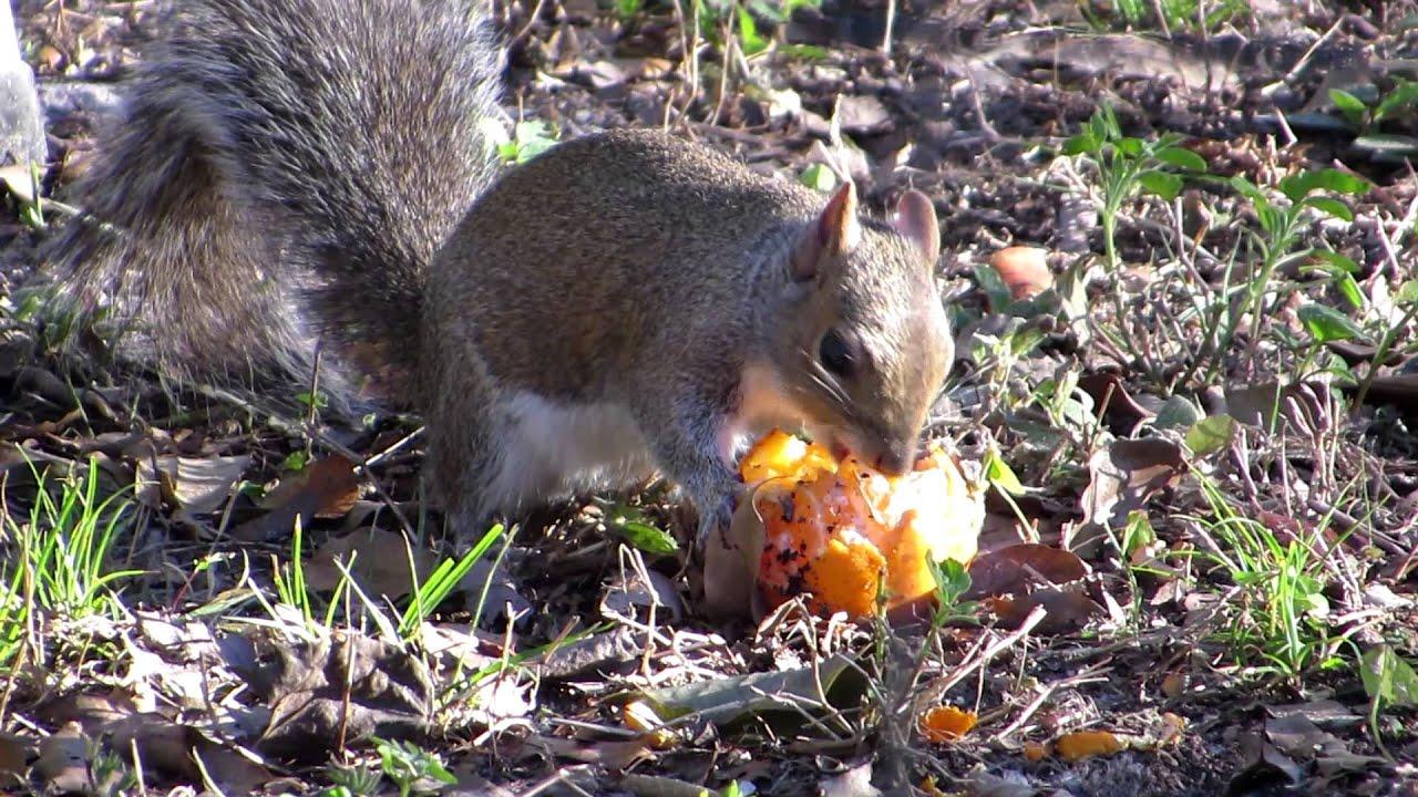 Do Squirrels Eat Oranges Youtube