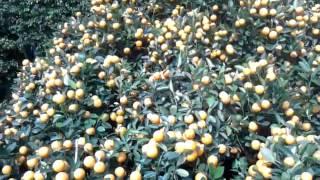 Китайские мандарины