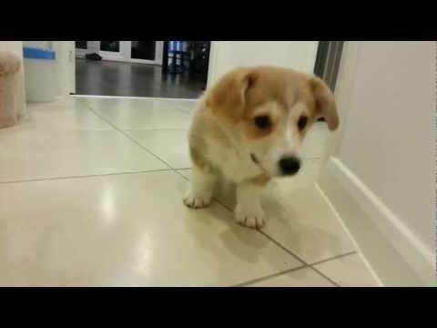 Puppy Barking At Camera