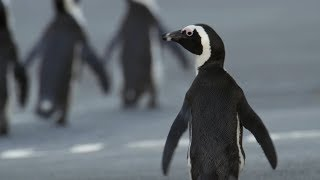 Penguin Crosses Cape Town To Find Mate   Cities: Nature's New Wild   BBC Earth