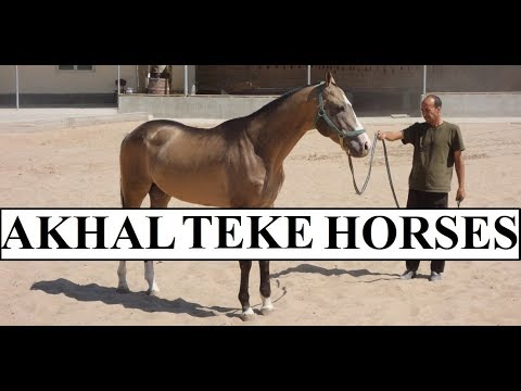 Turkmenistan Beautiful Akhal-Teke Horses Part 9