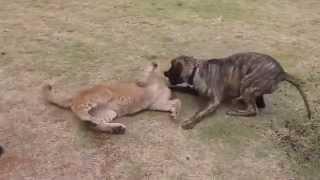 Уникальное видео лев дружит с собакой  львята играют с собакой