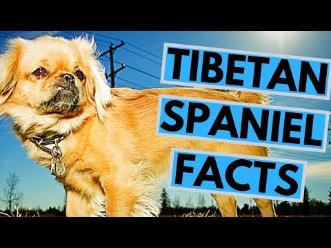 Tibetan Spaniel Dog Breed Facts and Info
