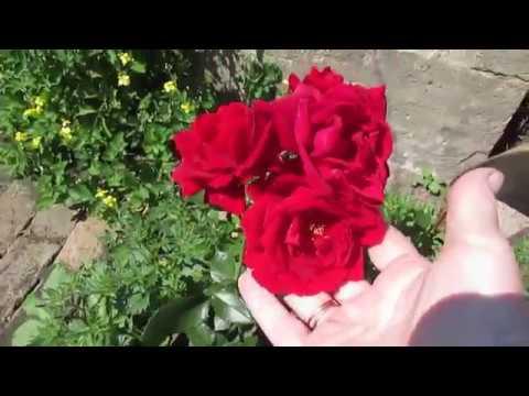 Плетистая роза  Первое цветение