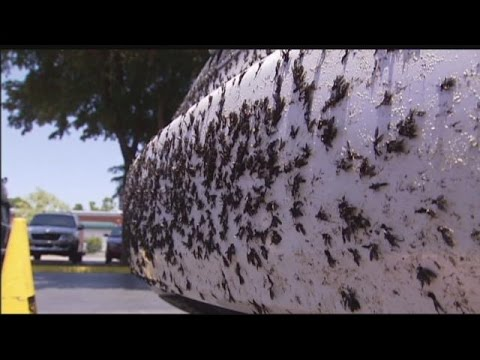 Lovebugs are in the air - and on your car