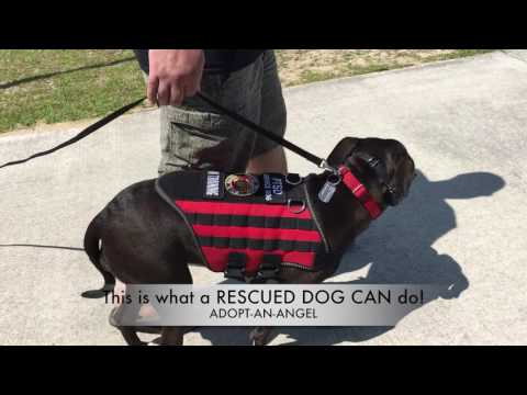 Rescued Pit Bull becomes Service Dog for Marine: Wilmington Dog Trainers