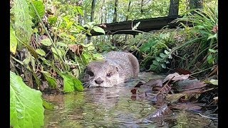 Otter Aty reports trip to Hakushu ~short movie~ [Otter life Day 135] カワウソアティがリポートする白州の旅 ~短編~