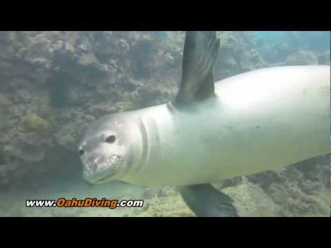 Hawaiian Monk Seal - Salty N72 - Scuba Diving with Monk Seals