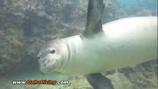 Hawaiian Monk Seal - Salty N72 - Scuba Diving with Monk Seals
