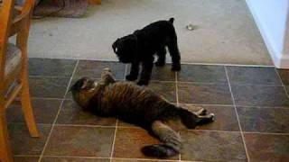 Miniature Schnauzer Playing With Cat