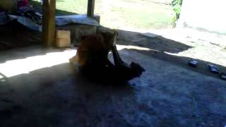LUCU BANGET : video kucing berantem