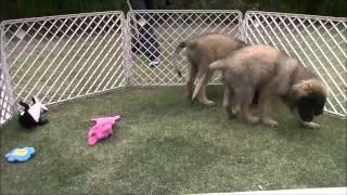 稀少犬レオンベルガーの情報はこちらから! http://www.masaki-collecti...