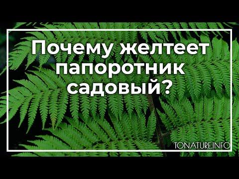 Почему желтеет папоротник садовый?   toNature.Info