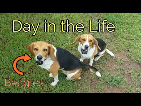 A Day in the Life of a Beagle! | Chubby Jumpers