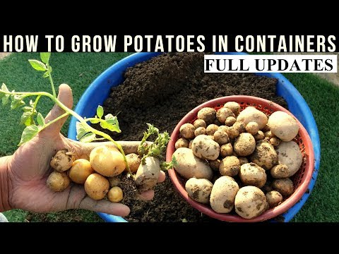 How To Grow Potatoes At Home With Full Updates