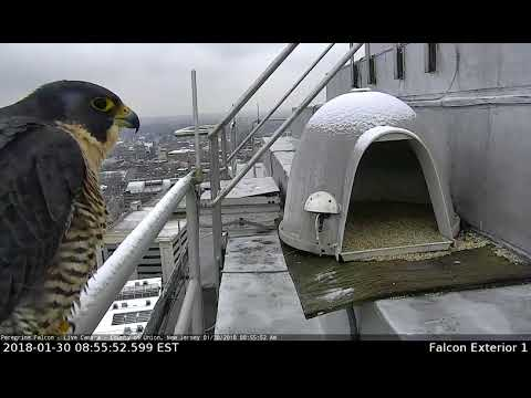 Peregrine Falcon Union County Courthouse