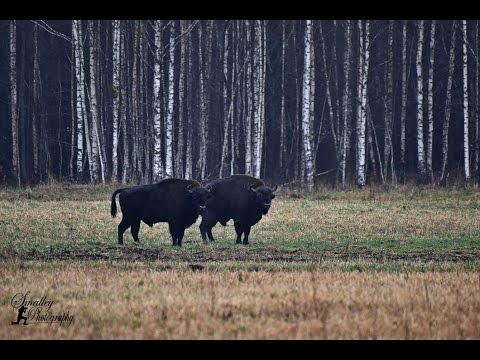 Wild Animals | Naliboki Forest Belarus
