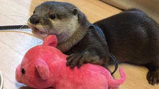カワウソさくら  初めてのお散歩(準備編)  otter
