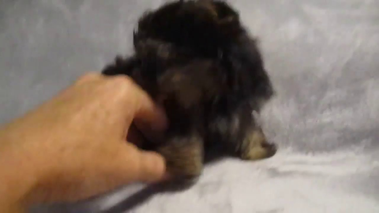 Teacup Yorkie Puppies For Adoption Playful And Healthy Youtube