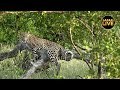 safariLIVE - Sunrise Safari - February 12, 2019