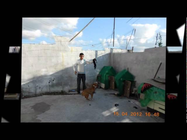 American Pitbull Terrier  leo   2012