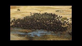 ビデオ恐ろしい! バッファローは水牛を救うためにライオンを攻撃する.