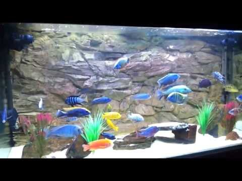 african malawi cichlid tank all male peacock, hap and mbuna show tank