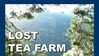 Lost tea farm 放棄された日本茶の農場 - Abandoned Japan 日本の廃墟