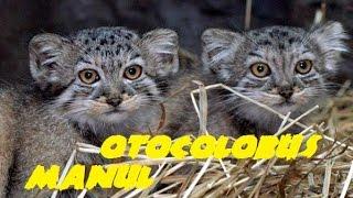 "Kittens of the breed ""Manul"" - a wild steppe cat. Котята породы ""Манул"" - дикого степного кота."