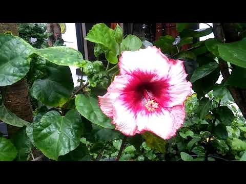 Julneng.Hibiscus Philippines