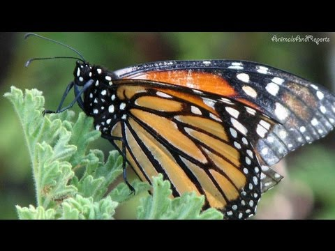 Once Upon A Butterfly | Close look at Monarch Butterflies