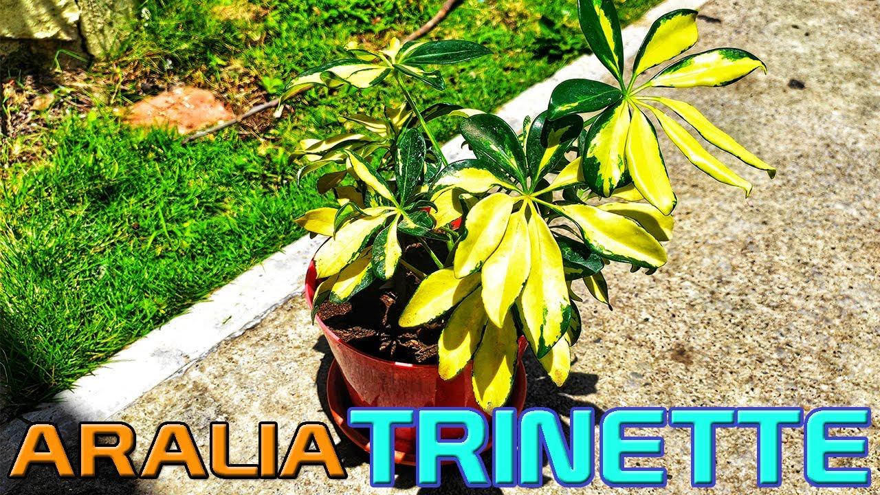 Schefflera | Aralia Trinette cuidados y reproduccion