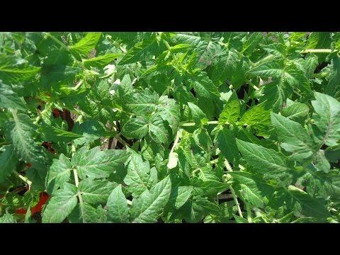 Посадка помидоров СКАЗКА на рассаду