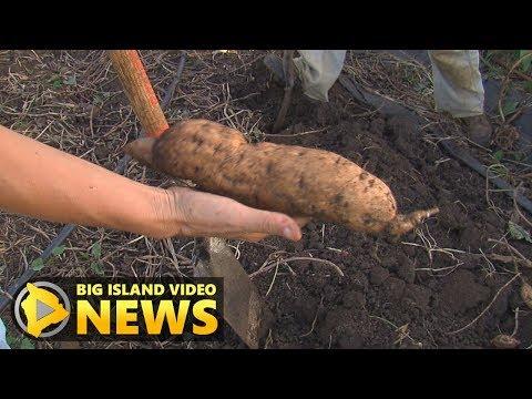 Hawaii County Eyes Better Sweet Potato (Nov. 1, 2017)