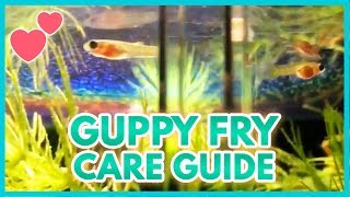 Guppy Fry (Ultimate Guide)