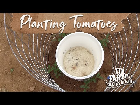 new-way-to-plant-tomatoes-in-your-garden!