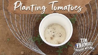 NEW WAY to Plant Tomatoes in Your Garden!