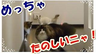 レーザーポインタで猫と遊びましたo(・_・= ・_・)oきょろきょろ 【説明】 ...