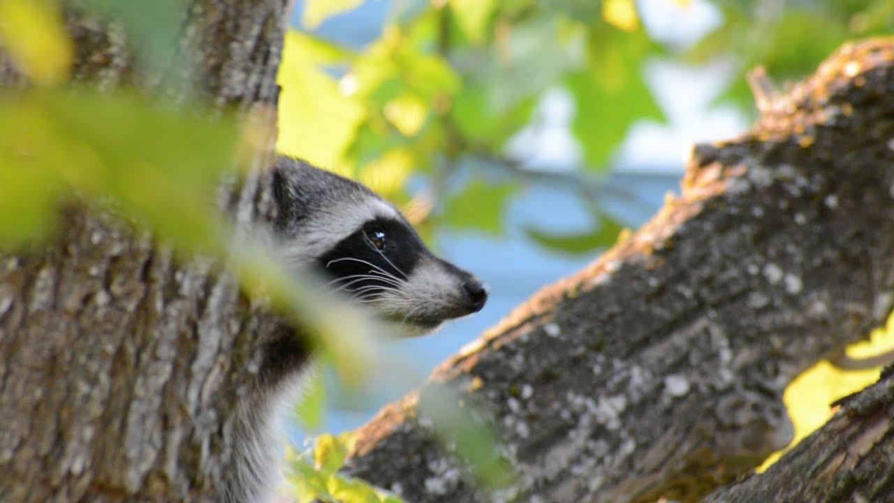 A Raccoon Family in my Backyard - YouTube