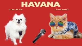 HAVANA  CAT AND DOG Version   Gabe the dog