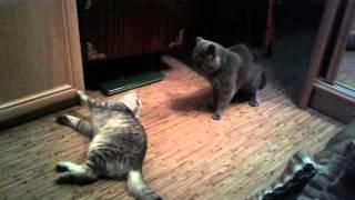 Коты дерутся. Шотландец и британец. Ржака. Смешные животные