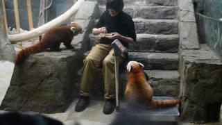 День кормления красной панды